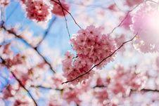 Free Cherry Blossom Flowers Royalty Free Stock Photo - 132036685