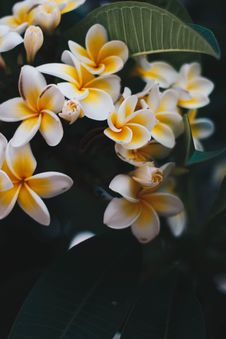 Free Photo Of Yellow-and-white Frangipani Flowers Stock Image - 132036691