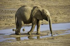 Free Elephant Drinking Water Royalty Free Stock Photography - 132036857