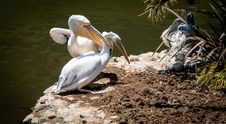 Free Two Pelican Perched On Soil Stock Photos - 132036943