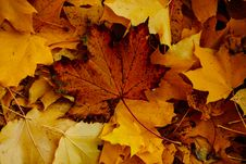 Free Close-Up Photo Of Dry Maple Leaves Stock Images - 132036994