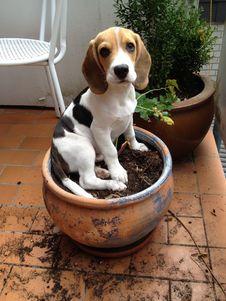 Free Dog, Beagle, Dog Like Mammal, Dog Breed Stock Photo - 132087550