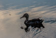 Free Water, Bird, Water Bird, Duck Royalty Free Stock Photography - 132087717