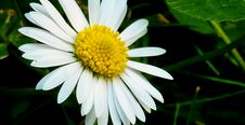 Free Flower, Oxeye Daisy, Flora, Daisy Royalty Free Stock Photo - 132087765
