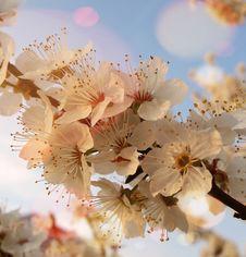 Free Blossom, Flower, Spring, Cherry Blossom Stock Photo - 132087830
