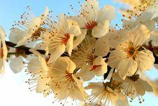 Free Flower, Blossom, Spring, Cherry Blossom Stock Photo - 132088090