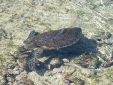 Free Sea Turtle, Turtle, Emydidae, Loggerhead Stock Photography - 132088222