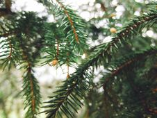 Free Spruce, Tree, Pine Family, Conifer Royalty Free Stock Photography - 132088297