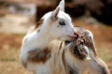 Free String Goat Scratching An Itch Royalty Free Stock Image - 13212606