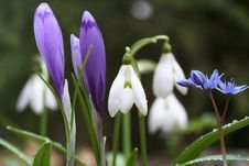 Free Coloured Snowdrops And Spring Crocus Royalty Free Stock Images - 13218559