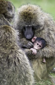 Free Monkey Carrying Baby Monkey Royalty Free Stock Photography - 132106537