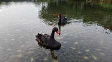 Free Black Swan, Water Bird, Ducks Geese And Swans, Bird Royalty Free Stock Photography - 132187097