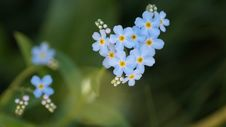 Free Flower, Forget Me Not, Flowering Plant, Plant Stock Photos - 132187213