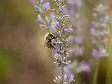 Free Bee, Honey Bee, Lavender, English Lavender Stock Photography - 132187242