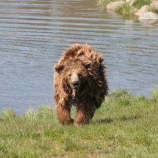 Free Brown Bear, Dog Breed Group, Dog, Spanish Water Dog Royalty Free Stock Images - 132187279