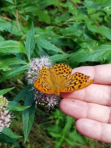 Free Butterfly, Moths And Butterflies, Brush Footed Butterfly, Flower Royalty Free Stock Photo - 132187315