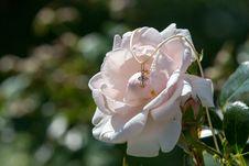 Free Flower, Rose Family, White, Rose Royalty Free Stock Photo - 132187615