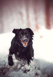 Free Dog, Dog Like Mammal, Snow, Dog Breed Stock Photography - 132187672
