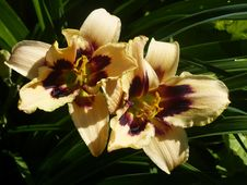 Free Daylily, Flower, Petal, Lily Stock Photography - 132187722