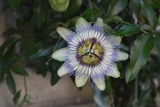 Free Flower, Plant, Passion Flower, Passion Flower Family Royalty Free Stock Photo - 132187745