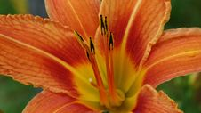 Free Lily, Flower, Orange, Orange Lily Stock Photo - 132187830