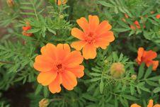 Free Flower, Sulfur Cosmos, Plant, Garden Cosmos Stock Photos - 132187873