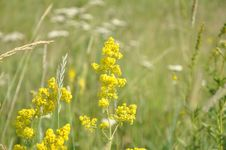 Free Mustard, Flora, Mustard Plant, Rapeseed Royalty Free Stock Images - 132187909