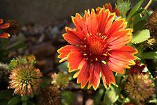 Free Flower, Blanket Flowers, Flora, Plant Royalty Free Stock Photos - 132187928