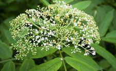 Free Plant, Nannyberry, Cow Parsley, Apiales Royalty Free Stock Photography - 132188087