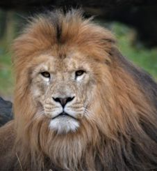 Free Wildlife, Lion, Terrestrial Animal, Masai Lion Royalty Free Stock Photos - 132188378