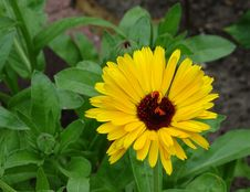 Free Flower, Plant, Flora, Blanket Flowers Royalty Free Stock Photography - 132188437