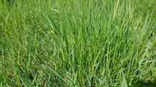 Free Grass, Grass Family, Plant, Sweet Grass Stock Photos - 132188443