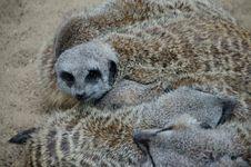 Free Meerkat, Mammal, Viverridae, Fauna Stock Images - 132188474