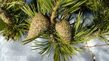 Free Tree, Pine Family, Conifer Cone, Conifer Royalty Free Stock Photography - 132188667