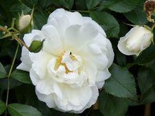 Free Flower, Rose, Rose Family, White Royalty Free Stock Images - 132188669