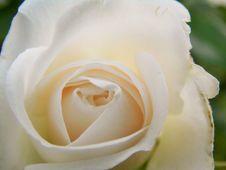 Free Flower, Rose, Rose Family, White Stock Images - 132188874