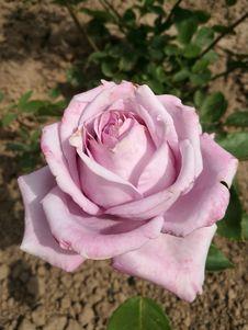 Free Rose, Flower, Rose Family, Pink Royalty Free Stock Image - 132189186