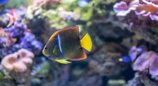 Free Coral Reef, Coral Reef Fish, Pomacentridae, Marine Biology Royalty Free Stock Photography - 132189437