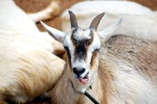 Free Funny Faced Goat Royalty Free Stock Images - 13227999