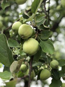 Free Fruit Tree, Fruit, Plant, Tree Stock Photography - 132273812