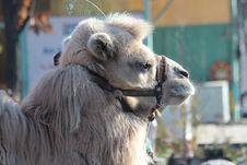 Free Camel, Camel Like Mammal, Fauna, Snout Stock Image - 132274111