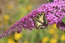 Free Butterfly, Brush Footed Butterfly, Pollinator, Flower Royalty Free Stock Image - 132274116