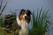 Free Dog, Dog Like Mammal, Dog Breed, Australian Shepherd Royalty Free Stock Photography - 132274307