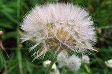 Free Flora, Plant, Flower, Dandelion Stock Photo - 132274310