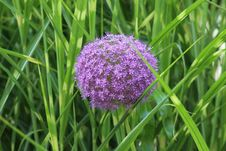 Free Plant, Grass, Purple, Chives Royalty Free Stock Photos - 132274438