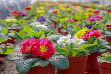 Free Flower, Plant, Primula, Flowering Plant Stock Photos - 132274493