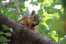 Free Squirrel, Fauna, Mammal, Fox Squirrel Royalty Free Stock Photography - 132275187