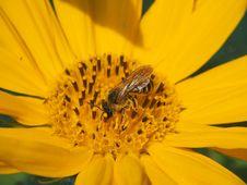 Free Honey Bee, Bee, Yellow, Flower Stock Photo - 132275200