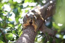 Free Squirrel, Mammal, Fauna, Fox Squirrel Royalty Free Stock Images - 132275209