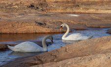 Free Swan, Water Bird, Ducks Geese And Swans, Bird Stock Photo - 132275410
